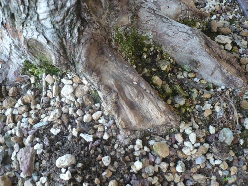 Un biancospino che diventa bonsai...... P1050630