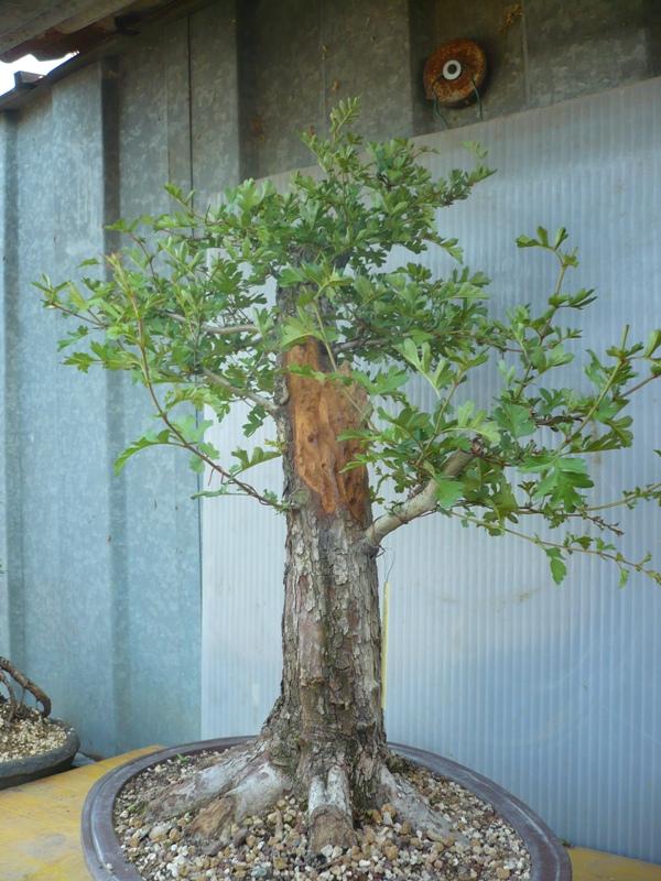 Un biancospino che diventa bonsai...... P1050632