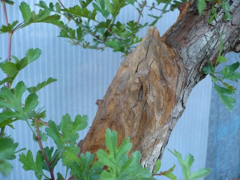 Un biancospino che diventa bonsai...... P1050633