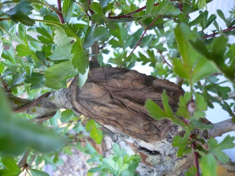Un biancospino che diventa bonsai...... P1050634