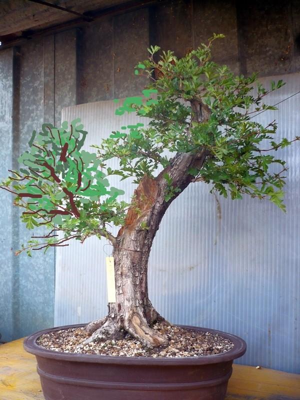 Un biancospino che diventa bonsai...... P1050635