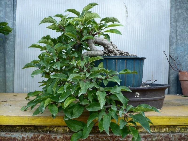 melo a cascata - Melo da seme in cascata. P1050767
