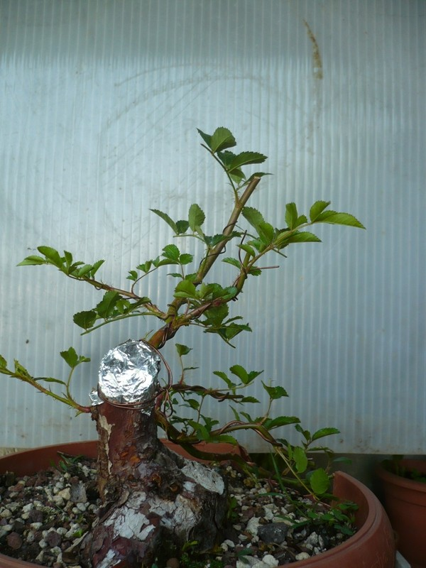 Una rosa senza spine..... P1050814