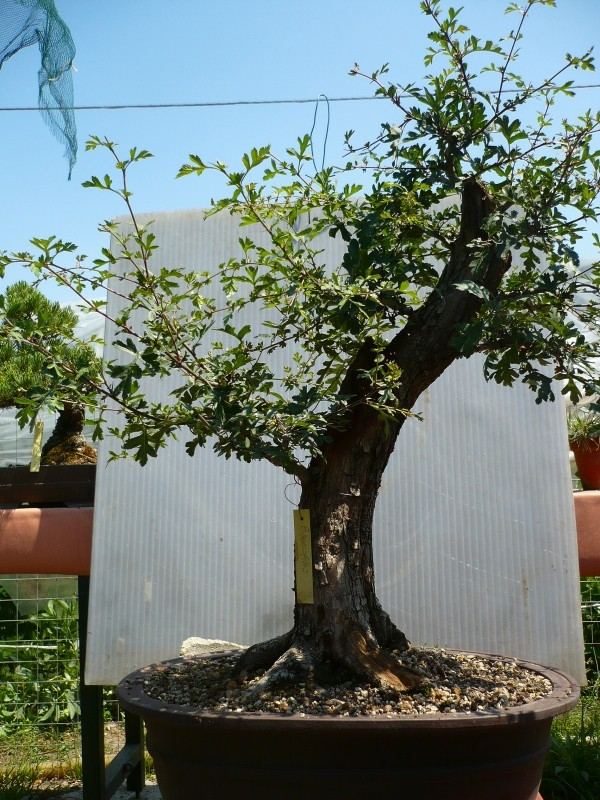 Un biancospino che diventa bonsai...... - Pagina 3 P1060019
