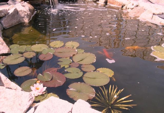 Stratoites  aloides   ou    surnom       cactus d'eau Strato10