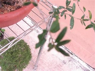 Sos Ulivo. Foglie mangiate-rosicchiate Olivo_27