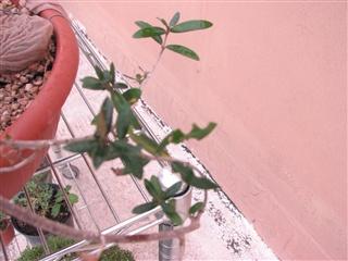 Sos Ulivo. Foglie mangiate-rosicchiate Olivo_28