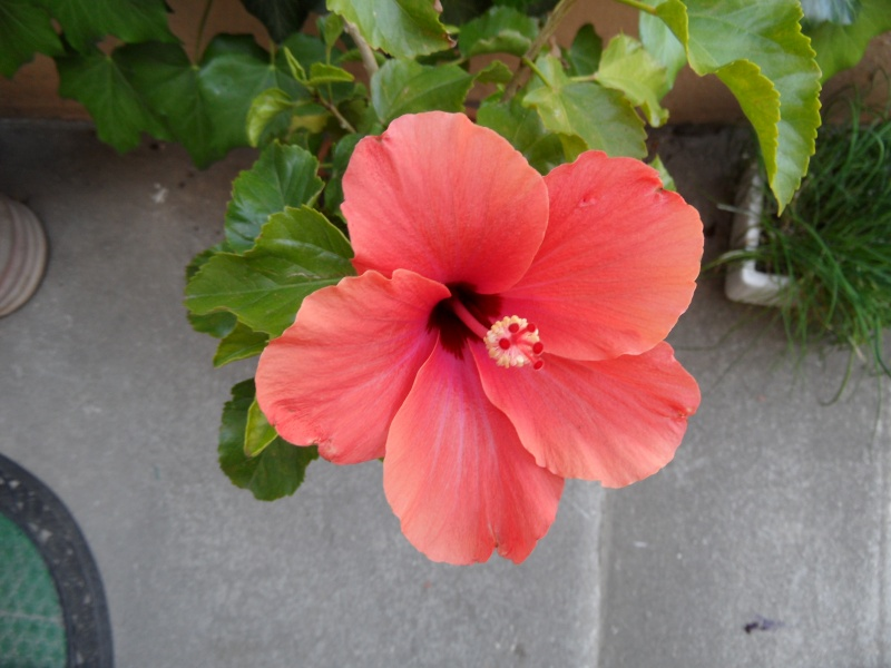 Hibiscus Photo_38