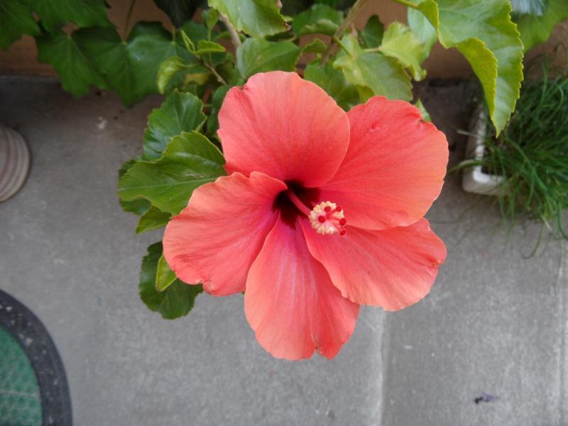 Hibiscus Photo_38