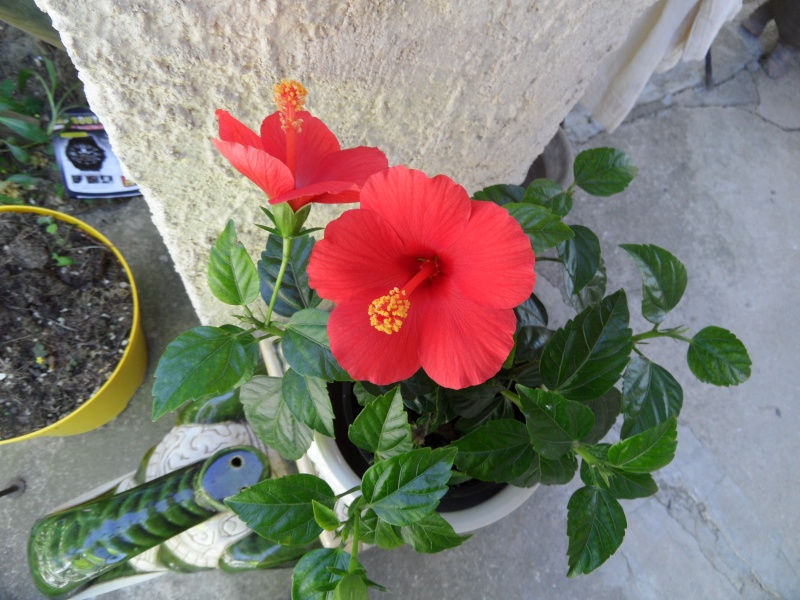 Hibiscus Photo_39