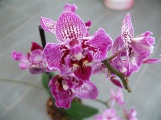 Orchideenblüten 2011 P1090713