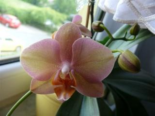 Orchideenblüten 2011 P1090916