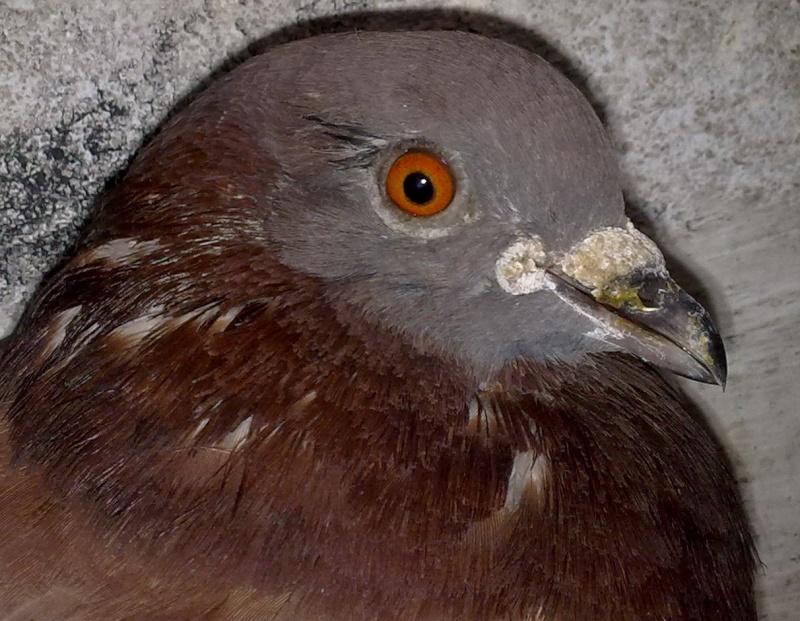 Balsa meets a Pigeon Angel - Page 2 Corrim10