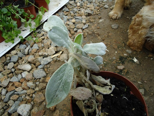 Plante qui semble si douce./ Oreille d'ours Stachys lanata Copie_32