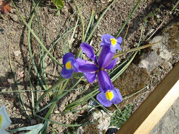 Iris bulbeux !!! Copie_45