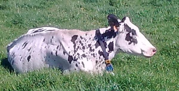 Ma toute première passion, les vaches : Photo010