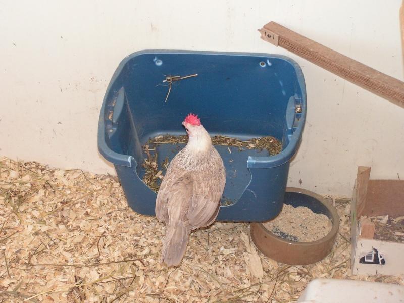 Mon nouveau coq game et ses poulettes Pict5411