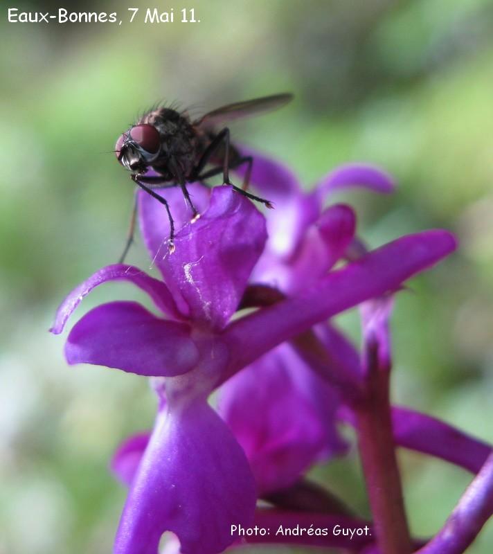 Une mouche sur un Orchis male. Img_0028