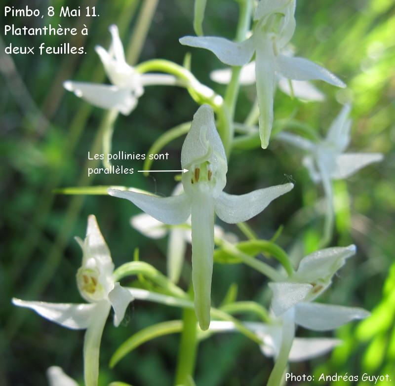 Sortie de Dimanche, identification des platanthères Img_0031