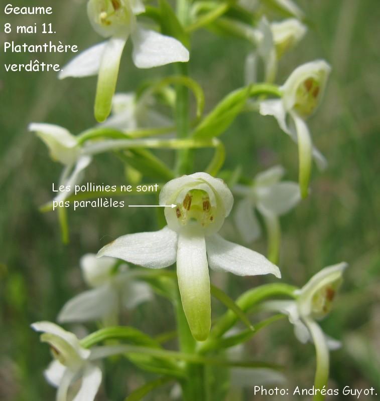 Sortie de Dimanche, identification des platanthères Img_0032