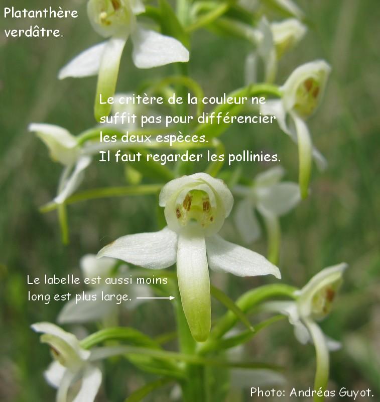 Sortie de Dimanche, identification des platanthères Img_0033