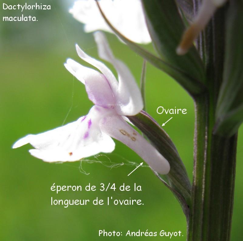 Point d'identification chez D. masculata. Img_0046