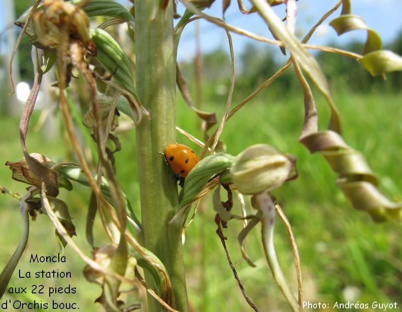 Une coccinelle sur un Ochis Bouc. Img_0058