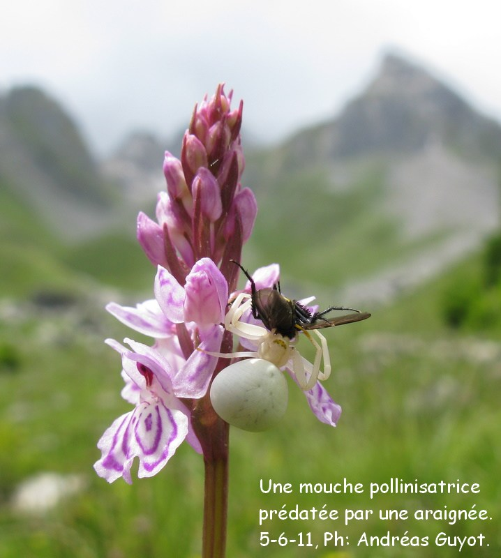 Une mouche pollinisatrice...!? prédaté par une araignée. Img_0059