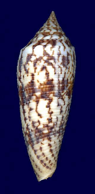 Conus (Phasmoconus) australis  Holten, 1802 00390-13