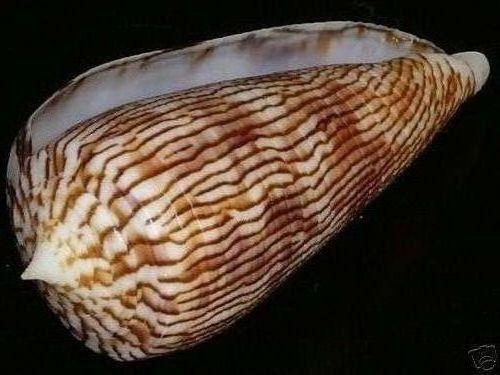 Conus (Phasmoconus) kuroharai  (Habe, 1965) 3470_110
