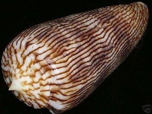 Conus (Phasmoconus) kuroharai  (Habe, 1965) 354b_110