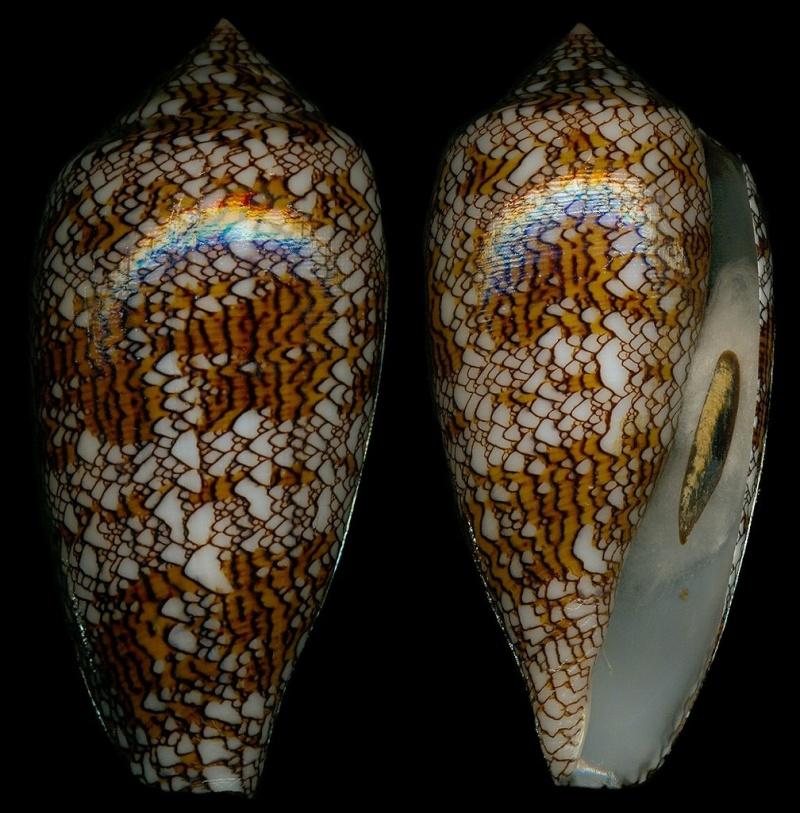 Conus (Cylinder) textile   Linnaeus, 1758 - Page 3 35526-10