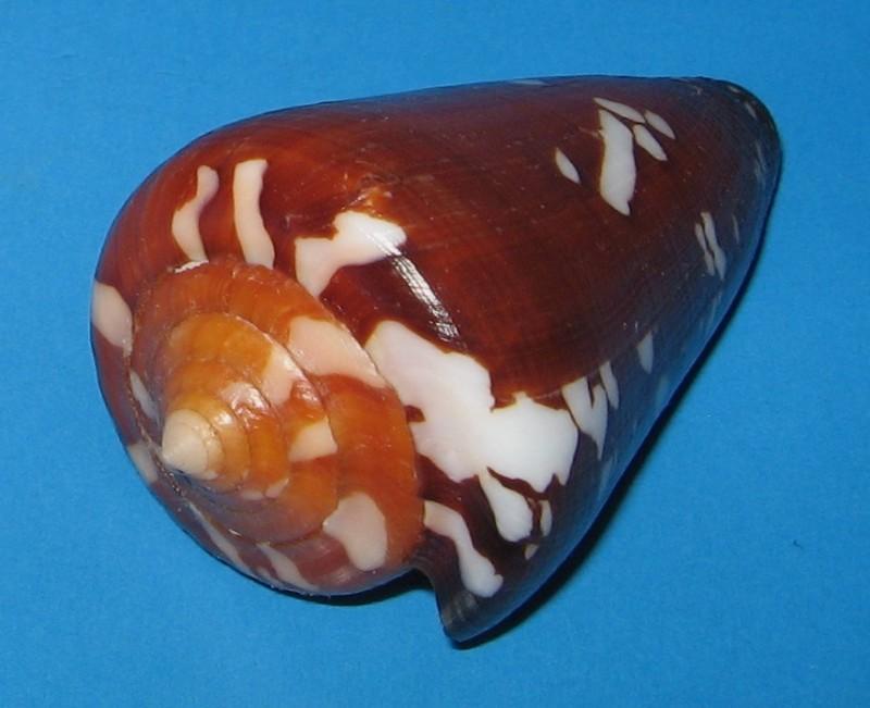 Conus (Darioconus) crocatus thailandis  da Motta, 1978 Cbn1bh10