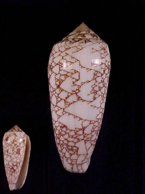 Conus (Darioconus) omaria convolutus     GB Sowerby II, 1858  Convol11
