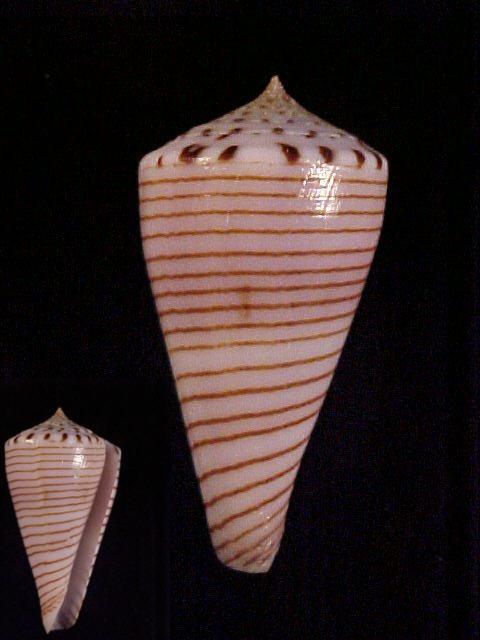 Conus (Klemaeconus) hirasei   Kuroda, 1956 Hirase10