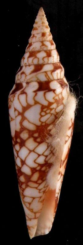 Conus (Leptoconus) milneedwardsi clytospira  Melvill & Standen, 1899 Kgrhqi15