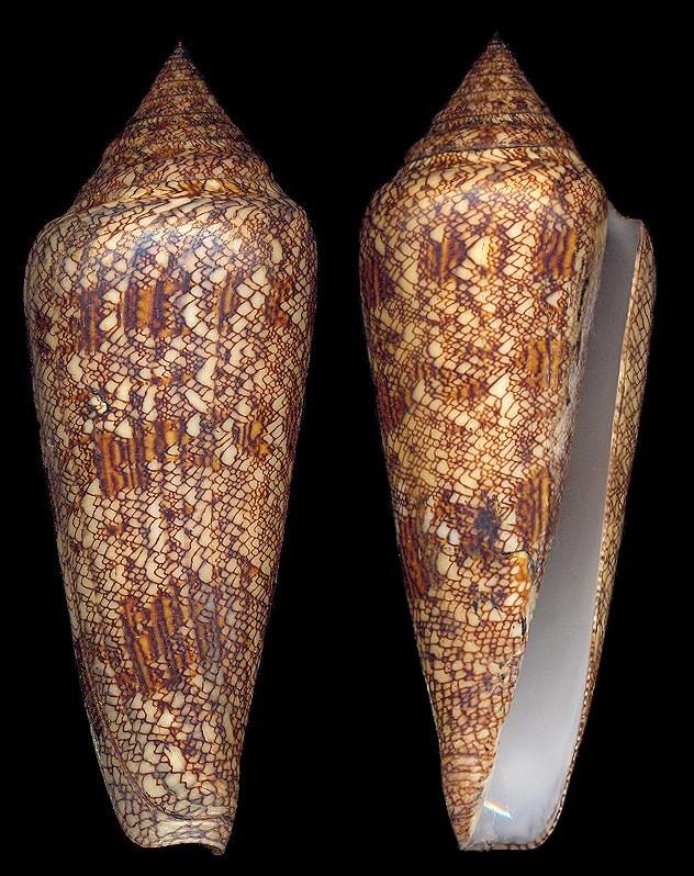 Les cones des Philippines... Pic22410