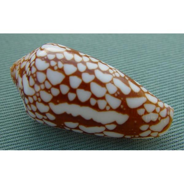 Conus (Darioconus) episcopus rubiginosus   Melvill, 1900 Rubigi11