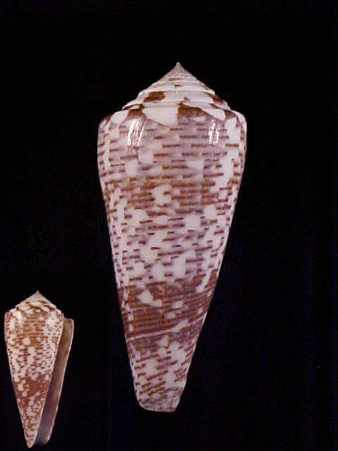 Conus (Darioconus) thomae   Gmelin, 1791 Thomae10
