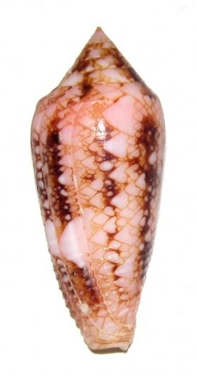 Conus (Cylinder) legatus   Lamarck, 1810 Ts807710