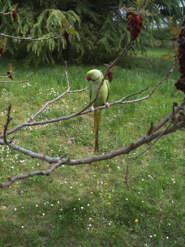 Perruche à collier dans mon jardin - Page 2 Img_0311