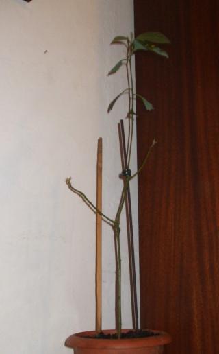 mon Avocatier-Persea americana Avocat13