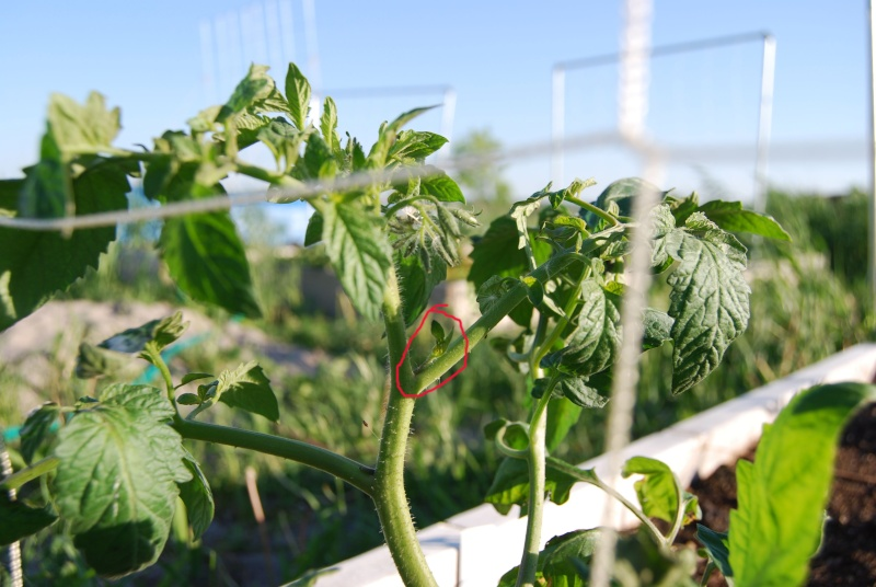 Newbie tomato pruning question Toms510