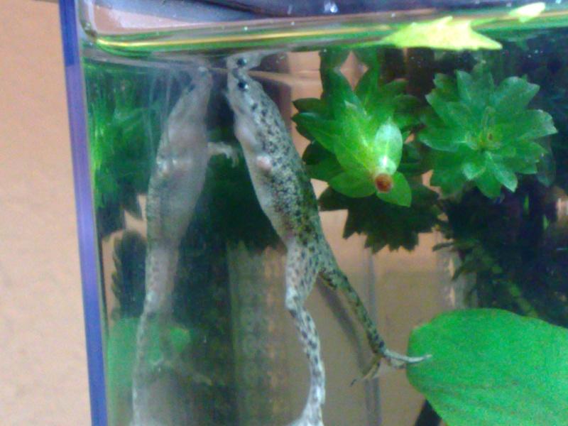 African Dwarf Frogs Adf410