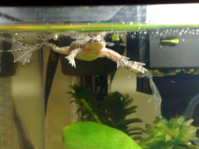 African Dwarf Frogs Adf610