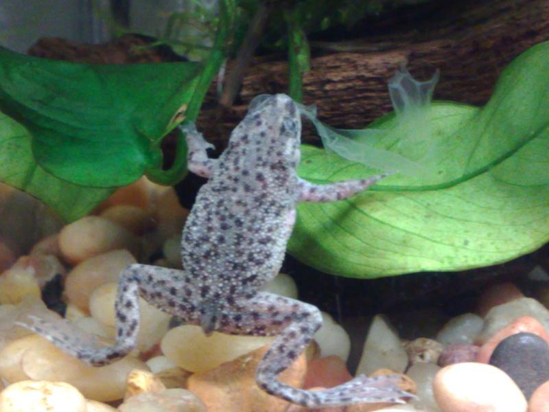African Dwarf Frogs Adf710