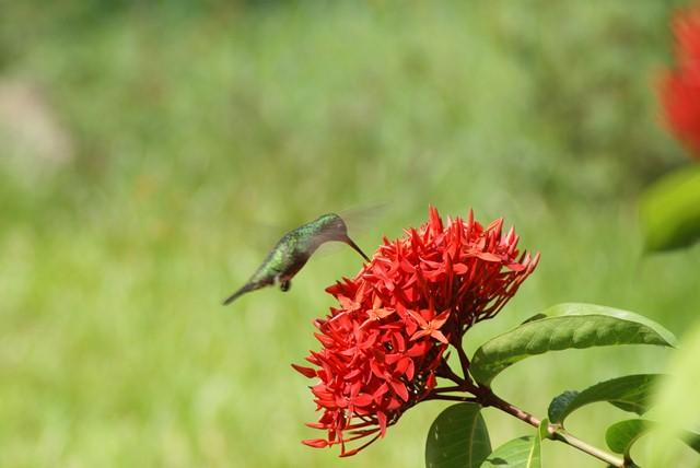 UN RAVAGEUR sévit dans mon jardin Colibr10