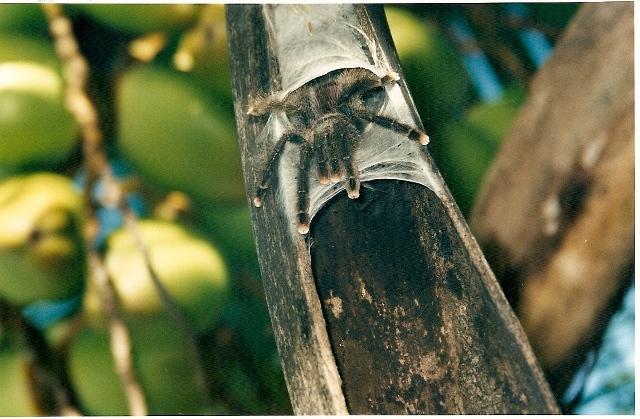 UN RAVAGEUR sévit dans mon jardin Mygale10