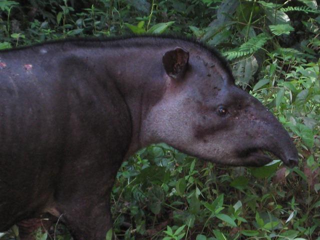 UN RAVAGEUR sévit dans mon jardin Tapir_10