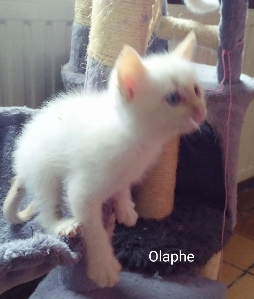 Olaphe né le 01/09/2019 Chaton21